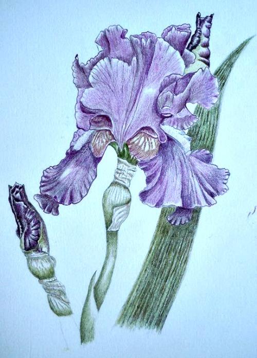 Lesley Shakespeare-Brogan Purple Iris